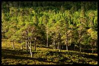 Kaledonske borovice v Glen Affric