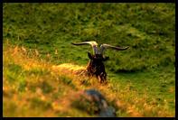 Divoka ovce na ostrove Rum
